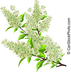 Branch of white lilac with leaves isolated