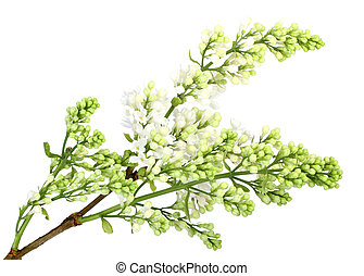 Branch of white lilac without leaf