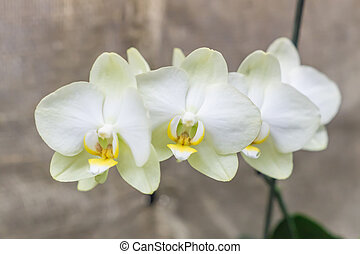 branch of white orchid, closeup