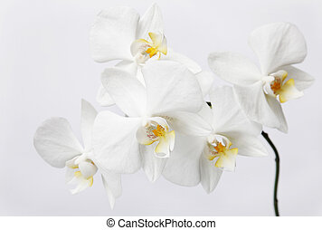 Branch of white orchids