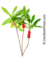 Branch of wild plant with green leaves and red berries