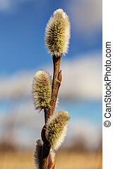 branch of willow