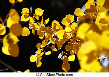 Close Up Branch of Yellow Autumn Aspen Leaves