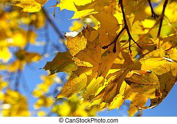 Branch of yellow autumn maple