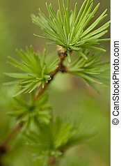 larch - branch  of young larch with needles as background