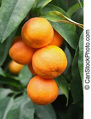branch orange fruits and green leaves