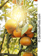branch orange tree fruits green lea