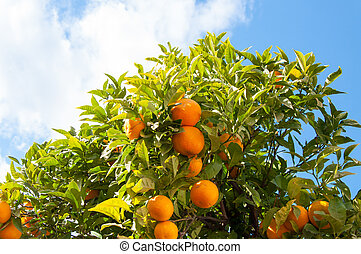 Branch orange tree fruits green leaves in Malaga Spain