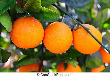 branch orange tree fruits green leaves in Spain - branch...