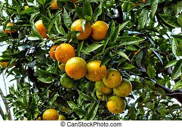 branch orange tree fruits green leaves