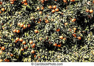 Branch orange tree fruits green leaves in Valencia Spain