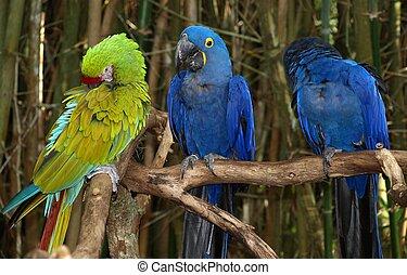 branch, papegøjer