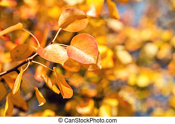 Branch pear with red yellow foliage, autumn leaves on blue...