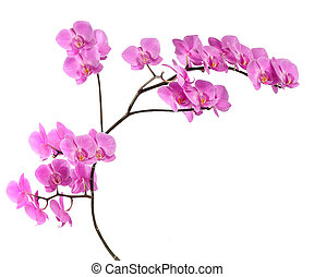 Branch pink orchid on white background