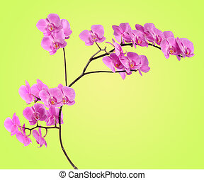 Branch pink orchid on yellow-green gradient
