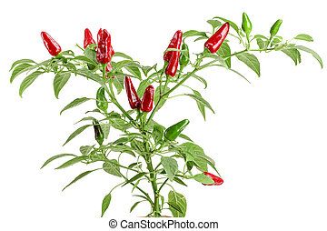branch red chili pepper with leaf isolated on a white background no shadow
