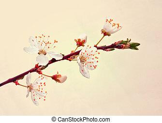 branch., sakura, rozkwiecony