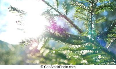 Branch sun light nature - Coniferous branch with sun light...