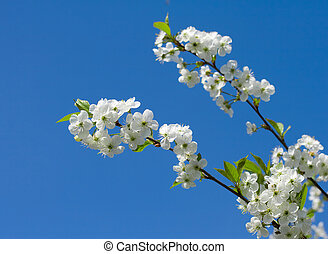 Branch to flowering cherry on background blue sky