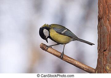 branch, træ, tit, great, fugl, det sidder