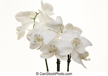 Branch white Orchid on a white background. - Branch white ...