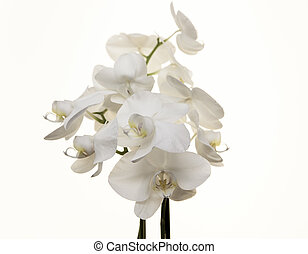 Branch white Orchid on a white background. - Branch white...