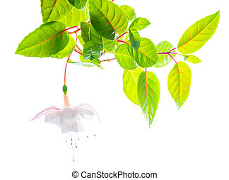branch white tenderness fuchsia  on white  background