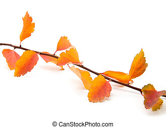 branch with a foliage on a white background