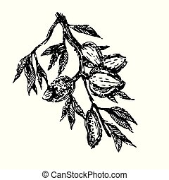 Branch with almonds nuts plant hand draw illustration sketch vector
