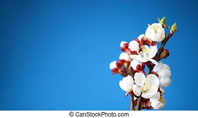 Branch with apricot flowers on a blue background - branch...