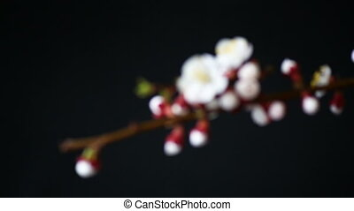 Branch with apricot flowers on a dark background - branch...