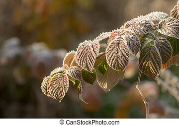autumn leaves in hoarfrost after freezing