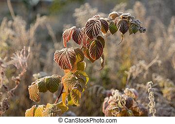 autumn leaves in hoarfrost
