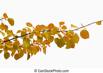 branch with autumn yellow leaves isolated