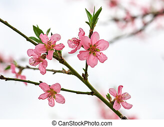 Branch with beautiful peach blossoms in spring