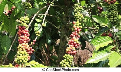 Branch with berries coffee