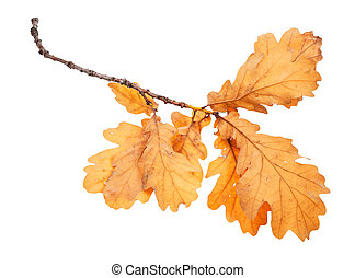 branch with brown oak leaves in autumn isolated