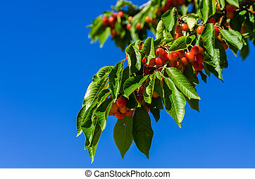 Branch with cherries