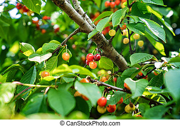branch with cherries. harvest of berries and fruits.