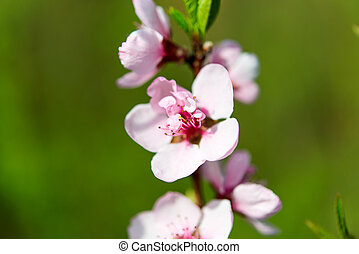 branch with cherry flowers