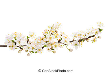 branch with cherry flowers isolated