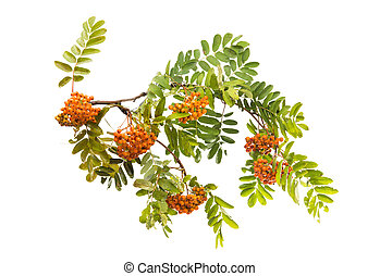 Branch with clusters of mountain ash isolated