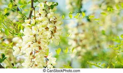 Branch With Flowers Of Acacia Swaying On Breeze - This is a...