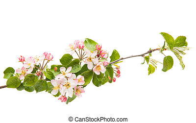 branch with flowers of apple