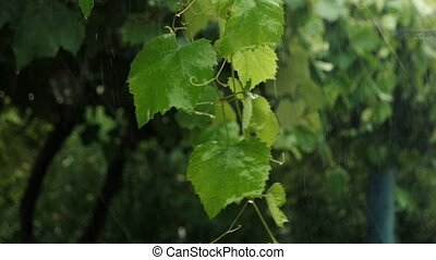 Branch with fresh grape leaves suffering in heavy rain slomo...
