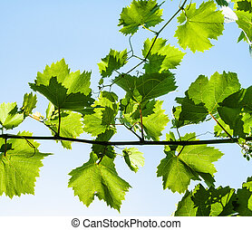 branch with green grape leaves and blue sky
