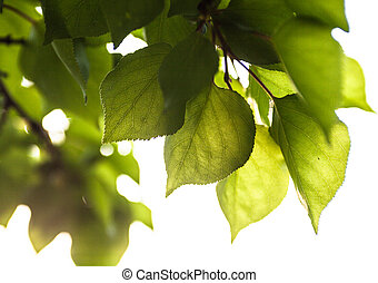 Branch with green leaves in the sunshine