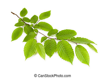 branch with green leaves isolated on a white background