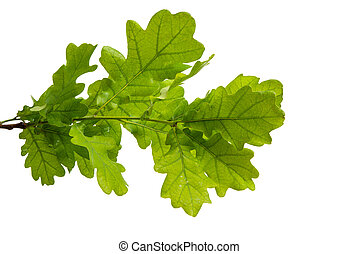 branch with green leaves of oak