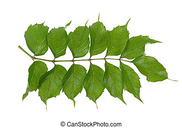 branch with green leaves on a white background